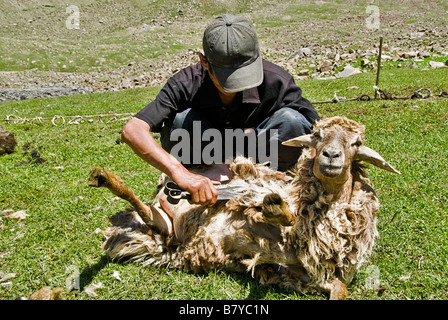 Kyrgyz nomads shearing sheep in the fields Kyrgyzstan - Stock Photo