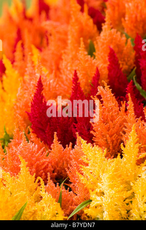 Brightly coloured celosia - Stock Photo