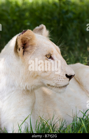 White Lioness at Lion Park South Africa - Stock Photo