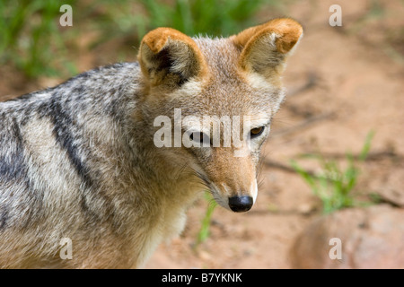 Black backed Jackal Game Park South Africa - Stock Photo
