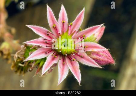 sempervivum arachnoideum stansfieldii flower bloom cobweb houseleek perennial plant close up - Stock Photo