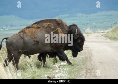 Large bison bull crossing the road in Bison Range - Stock Photo
