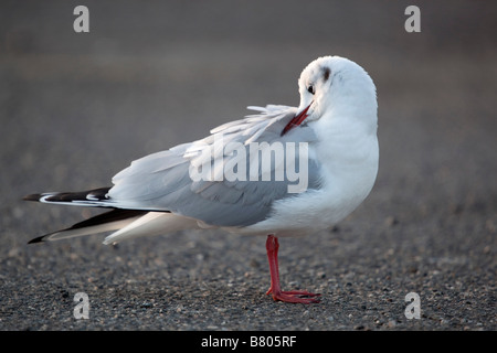 black headed gull Larus ridibundus preening - Stock Photo