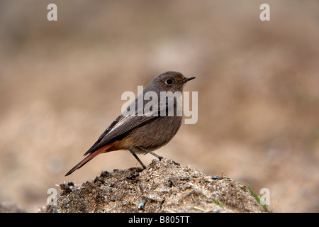 black redstart Phoenicurus ochrurus winter cornwall - Stock Photo