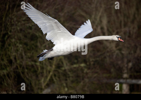 mute swan Cygnus olor in flight - Stock Photo