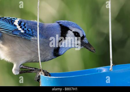 A Blue Jay, Cyanocitta cristata, eats from a bird feeder. Oklahoma, USA. - Stock Photo