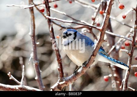 A blue jay, Cyanocitta cristata, with a deformed beak. Oklahoma, USA. - Stock Photo