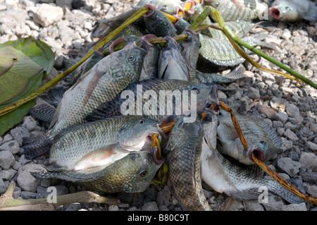 Fresh Fish on lake Ziway Ethiopia Africa - Stock Photo