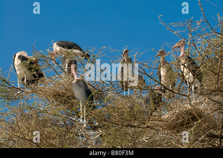 Marabous on a tree Nechisar National Park Ethiopia Africa - Stock Photo