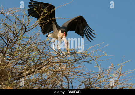 Marabou landing on the branches of a tree Nechisar National Park Ethiopia Africa - Stock Photo