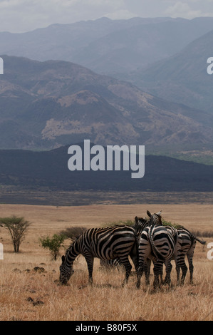 Zebras in the Nechisar National Park Ethiopia Africa - Stock Photo
