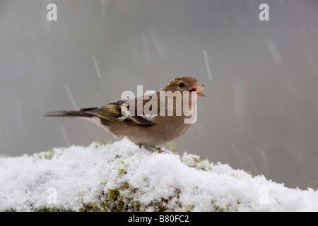 chaffinch Fringilla coelebs female in snow - Stock Photo