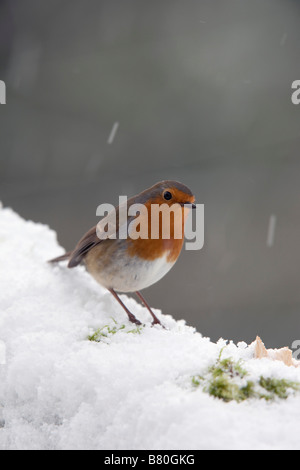 robin Erithacus rubecula in snow - Stock Photo