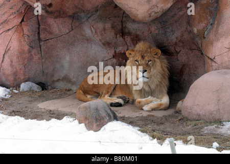 Male African Lion in outdoor den in Toronto Zoo in winter - Stock Photo