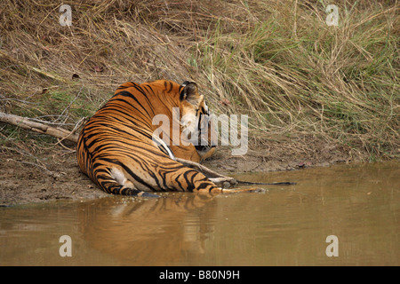 Bengal Tiger Panthera tigris lying and resting in a water hole with a reflection in the water - Stock Photo