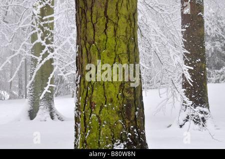 Green pine tree trunk in snow Bow Brickhill England - Stock Photo