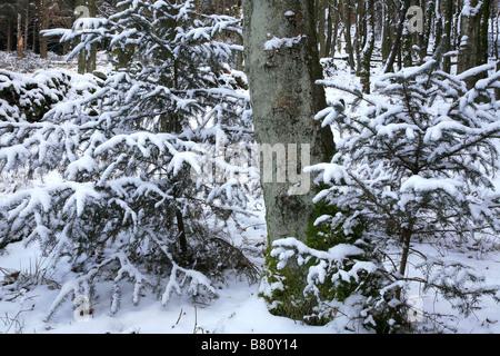 Snowy Saplings in Macclesfield Forest - Stock Photo