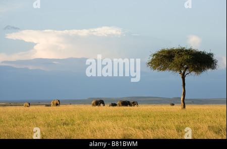 A herd of Elephants in evening sunlight in the Masai Mara in Kenya - Stock Photo