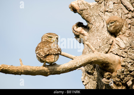 Little Owl on branch with youngster looking through nest hole in tree - Stock Photo
