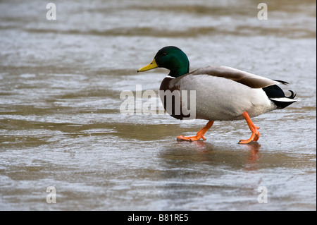 Mallard (Anas platyrhynchos) adult male on frozen lake Golden Acre Park Leeds West Yorkshire England UK Europe February - Stock Photo
