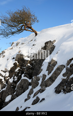 Windblown Hawthorn tree on a rocky snowy mountain Black Mountain Brecon Beacons National Park Carmarthenshire Wales - Stock Photo