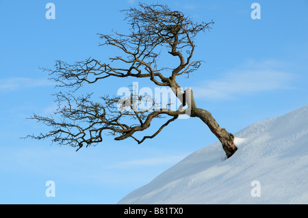 Windblown hawthorn tree in snow against a blue sky Black Mountain Brecon beacons National Park Carmarthenshire Wales - Stock Photo