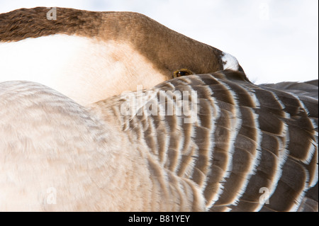 Chinese Domestic Goose, adult, close-up of head roosting in snow Golden Acre Park Nature Reserve Leeds West Yorkshire - Stock Photo