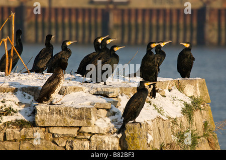 Great cormorant colony Phalacrocorax carbo on Adour river Pays Basque France - Stock Photo
