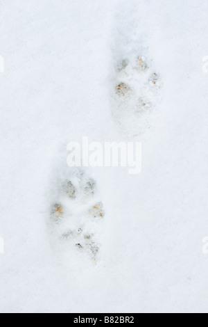 Fox (Vulpes vulpes) Tracks in snow - Stock Photo