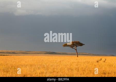 Acacia tree stands along on the golden grasses of the Serengeti in Masai mara National Reserve, Kenya. - Stock Photo
