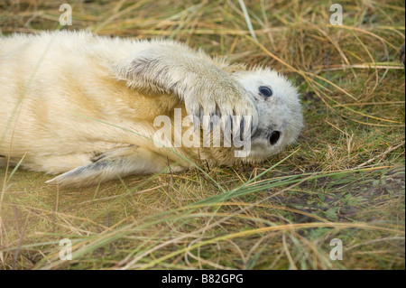 Portrait of a Grey seal Halichoerus grypus pup resting on salt marshes, in a playful pose. The pup is covering his - Stock Photo