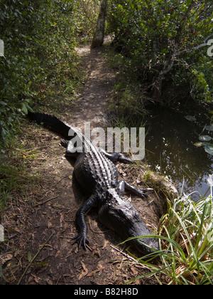 Alligator on trail near observation tower Shark Valley Everglades National Park Florida - Stock Photo