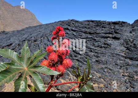 Castor oil plant in front of Lava flow, Pico de Fogo, Fogo Island, Cape Verde, Africa - Stock Photo