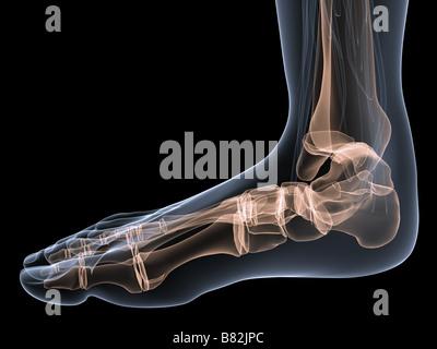 Skeletal Foot Stock Photo 18379640 Alamy