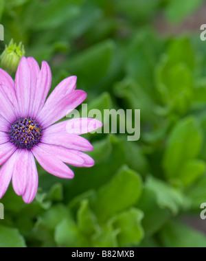Blue-eyed African Daisy, Osteospermum growing in an Oklahoma, USA garden. - Stock Photo