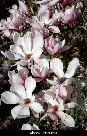 Bagatelle Park France white Magnolia flower - Stock Photo