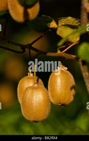Kiwi Actinidia deliciosa Landes France - Stock Photo