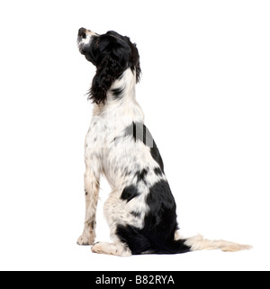 English Springer Spaniel 1 year in front of a white background - Stock Photo