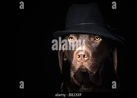 Chocolate Labrador in Black Hat against Black Background - Stock Photo
