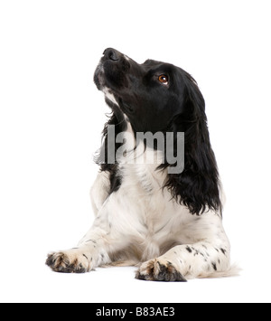 English Springer Spaniel 2 years in front of a white background - Stock Photo