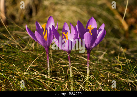 Flower of woodland Crocus sp in autumn Pays basque France - Stock Photo