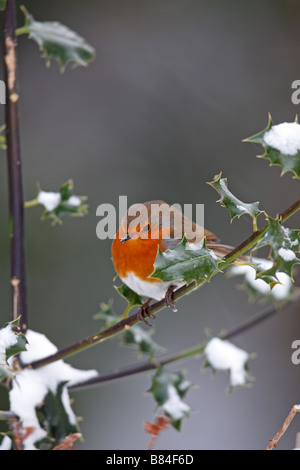ROBIN Erithacus rubecula PERCHING ON SNOW COVERED HOLLY - Stock Photo
