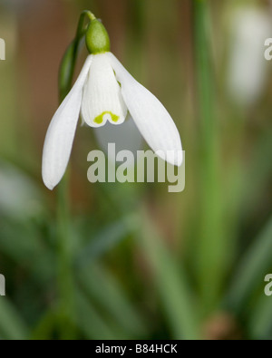 Close up of snowdrops in March - Stock Photo