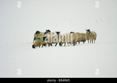 Flock of sheep in snow covered field. Winter Pembrokeshire farm. Wales UK. Snow storm.Horizontal 90320 HouseSnow - Stock Photo