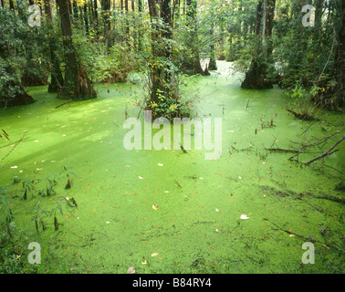 NORTH CAROLINA - Swamp in Greenfield Lake City Park in Wilmington. - Stock Photo