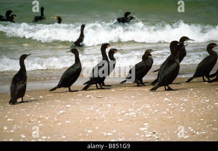 Black cormorants at Walvis Bay, Namibia. - Stock Photo