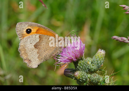 Meadow Brown butterfly (Maniola jurtina) feeding on a thistle flower. Powys, Wales. - Stock Photo