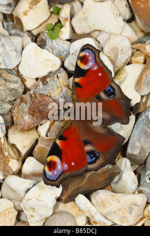 Peacock butterfly (Aglais io) basking on pebbles. Powys, Wales. - Stock Photo