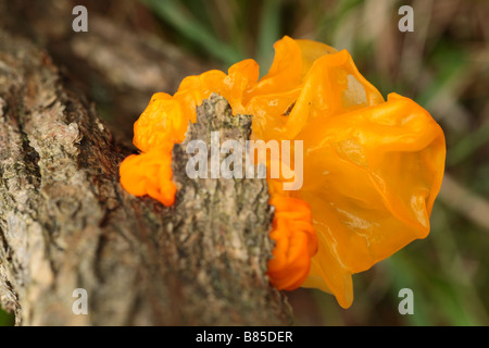 Yellow Brain fungus (Tremella mesenterica) fruiting on a gorse stem. Powys, Wales. - Stock Photo