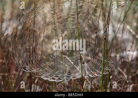 Female Garden or Cross Spider (Araneus diadematus) in the center of her web on a dewy morning. Powys, Wales. - Stock Photo